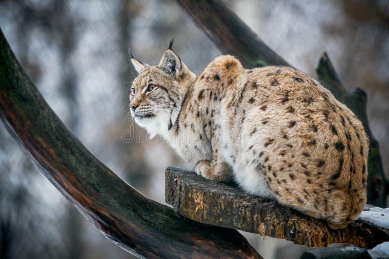 Lynx observant pour la proie photos libres de droits
