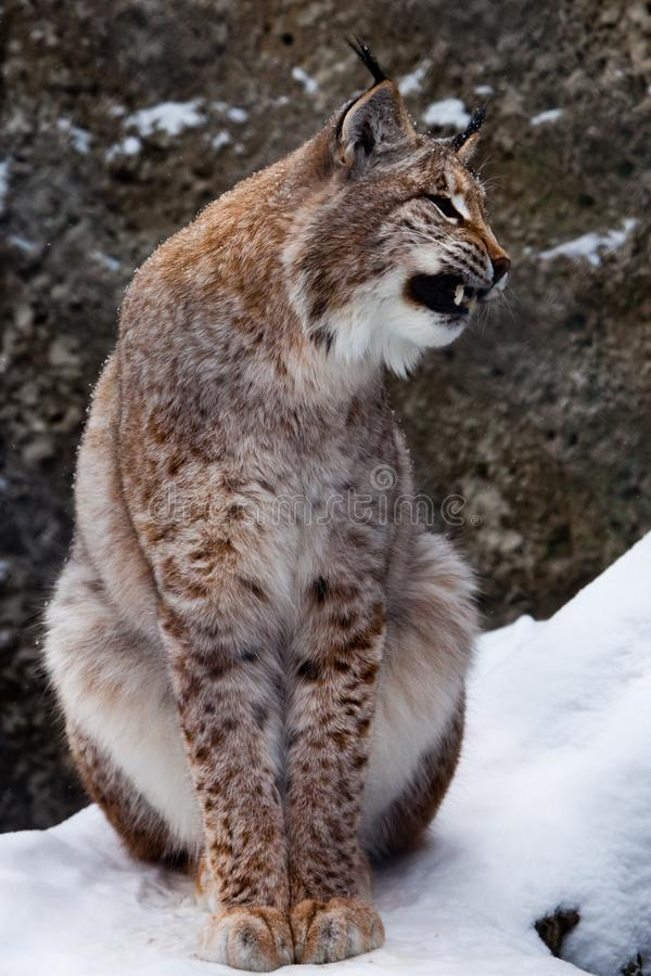 Lynx opens its mouth growling. Dangerous and formidable,and bares his teeth. A upright beautiful and slim wild cat Lynx opens its mouth growling. Dangerous and royalty free stock photo