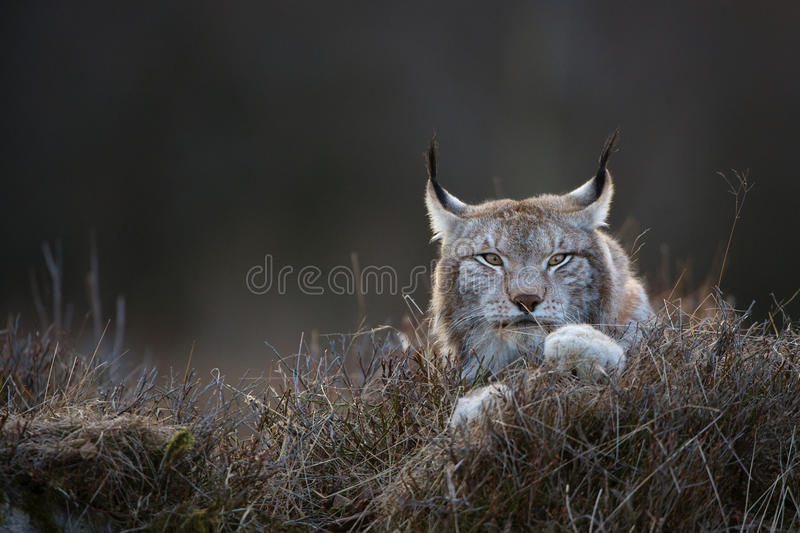 Lynx. Photo captured at sunset royalty free stock photography