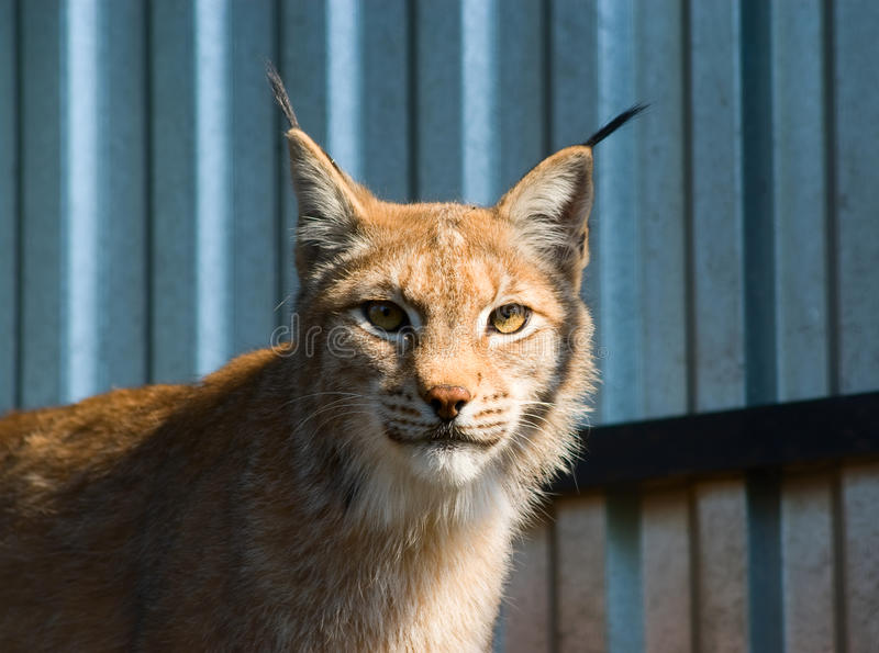 Download Lynx Portrait Royalty Free Stock Photos - Image: 18111638