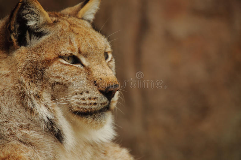 Download Lynx stock photo. Image of fauna, beautiful, wildcat - 36281668