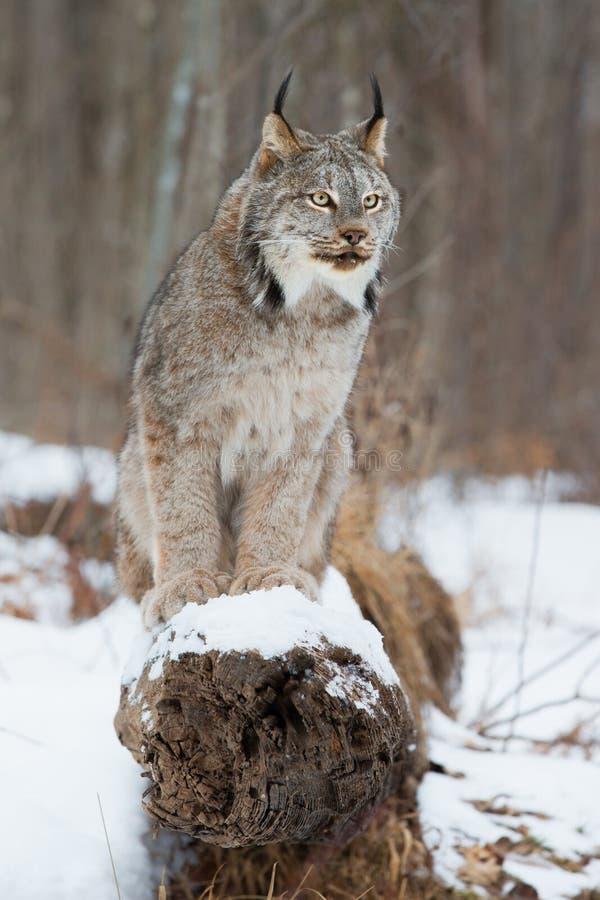 Lynx portrait on log royalty free stock photo