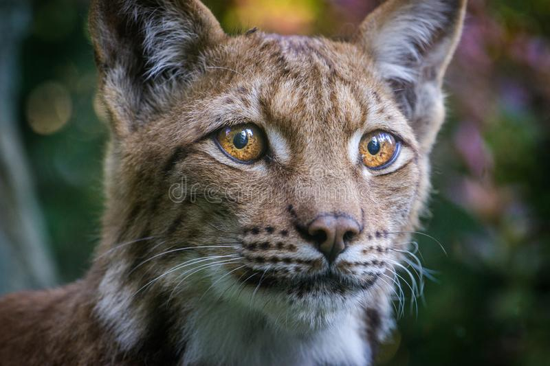 Lynx portrait in the nature stock photo