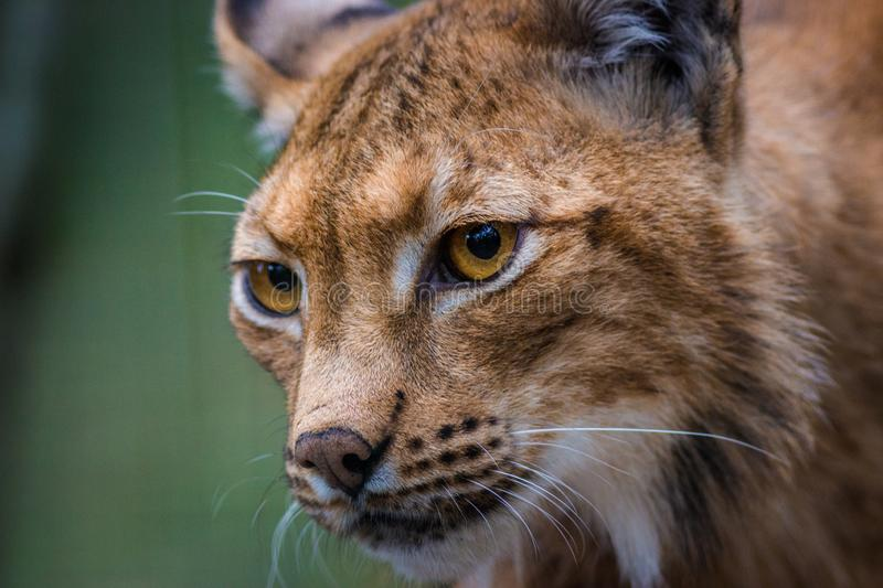 Lynx portrait in the nature royalty free stock photo