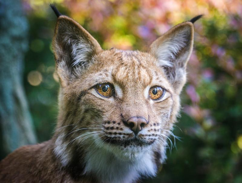 Lynx portrait in the nature stock photos