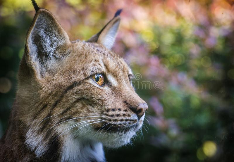 Lynx portrait in the nature stock images