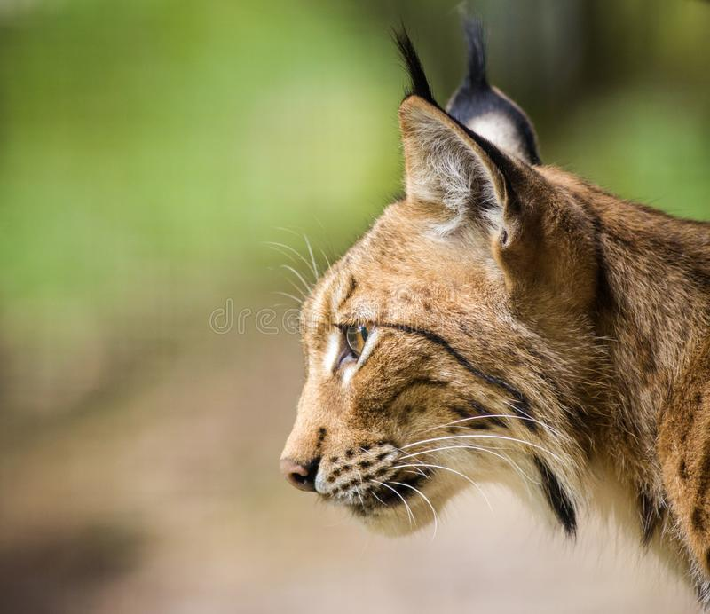 Lynx portrait in the nature royalty free stock photography