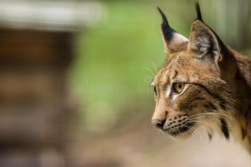 Lynx portrait in the nature royalty free stock images