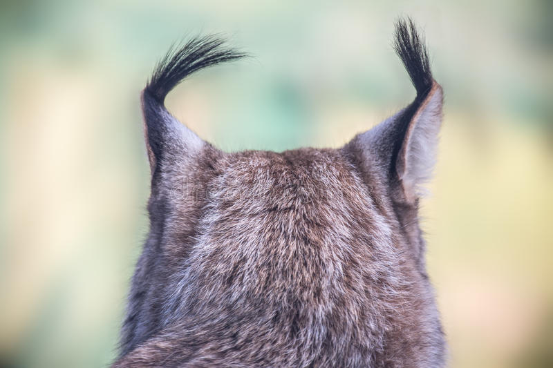 A lynx royalty free stock images