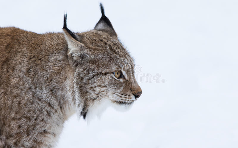 Lynx portrait. Lynx in polar park in Troms, Norway stock photography