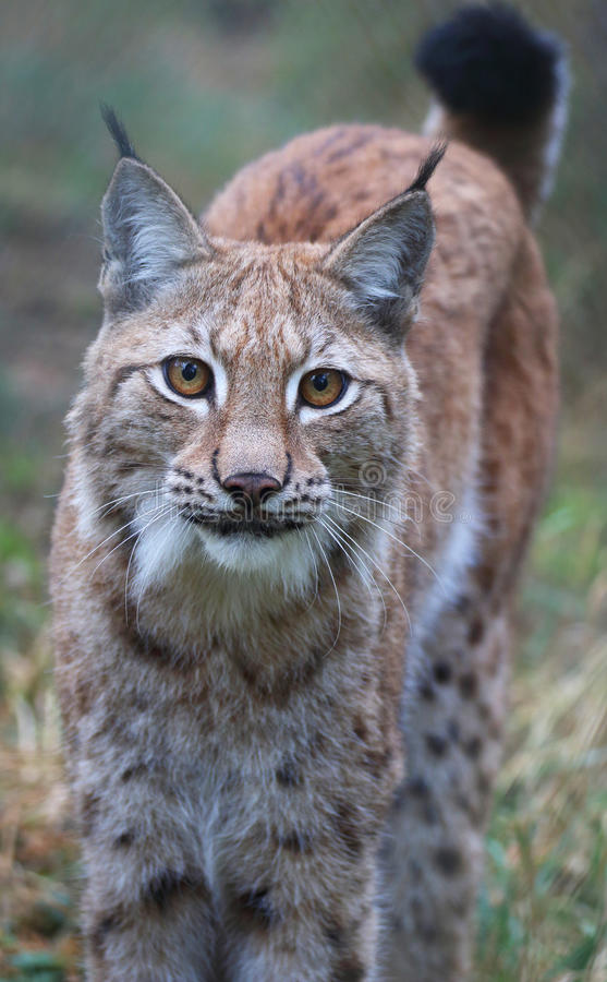 Lynx. A portrait of a young male lynx royalty free stock photos