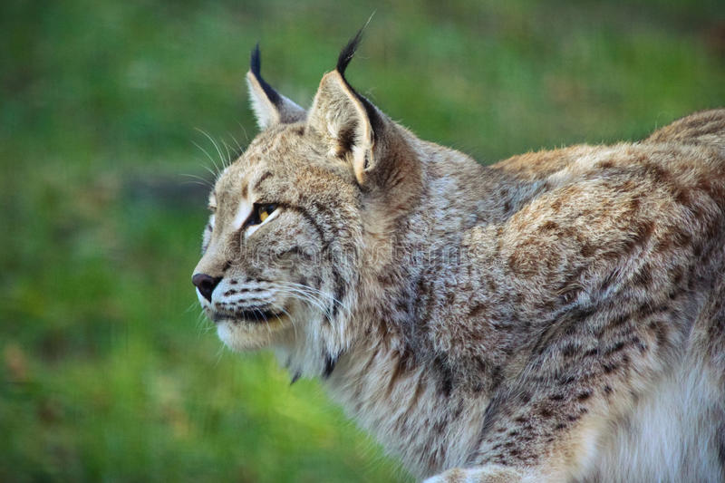 Download Lynx profile stock photo. Image of spotted, mollo, lince - 36100486