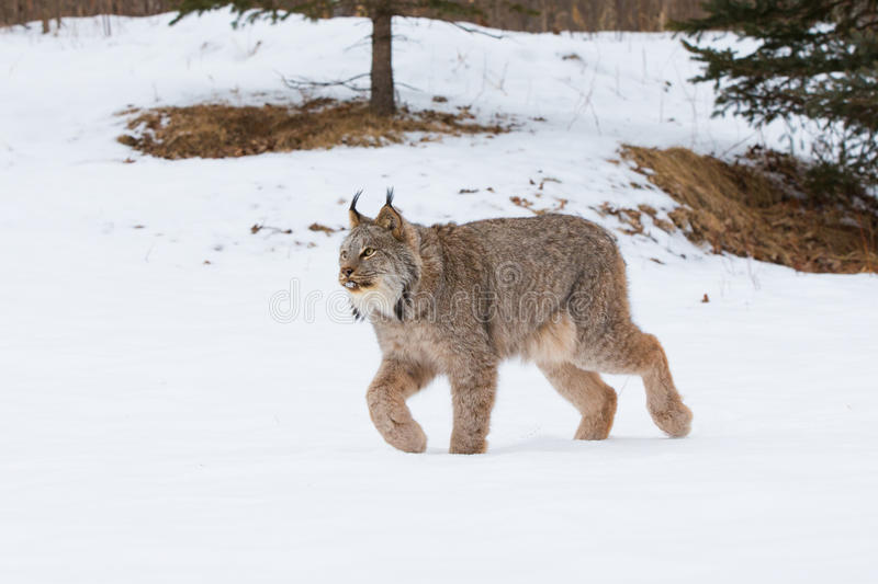 Lynx on prowl. In mountains royalty free stock image