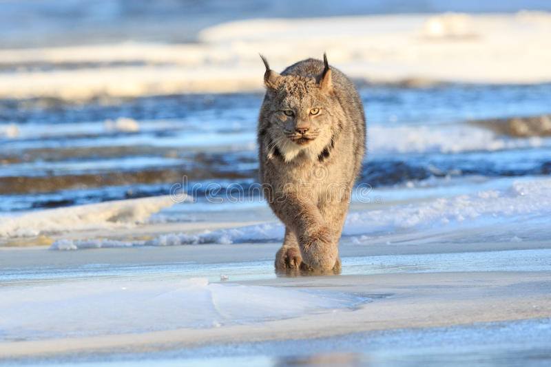 Lynx prowling for prey. By frozen river stock photography