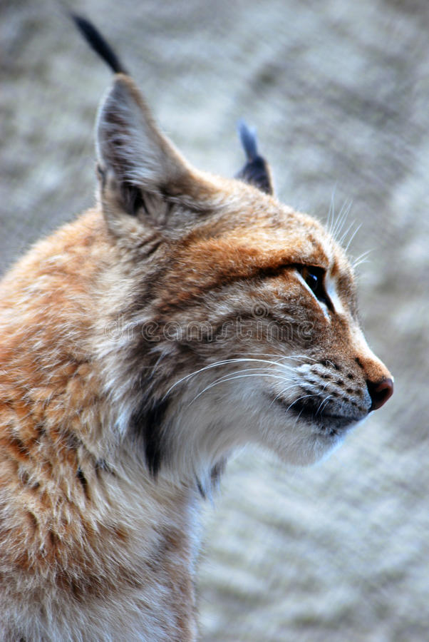Download Lynx Rufus Profile Portrait Stock Photo - Image: 41068144