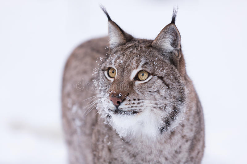 Lynx in scandinavia hunting stock images
