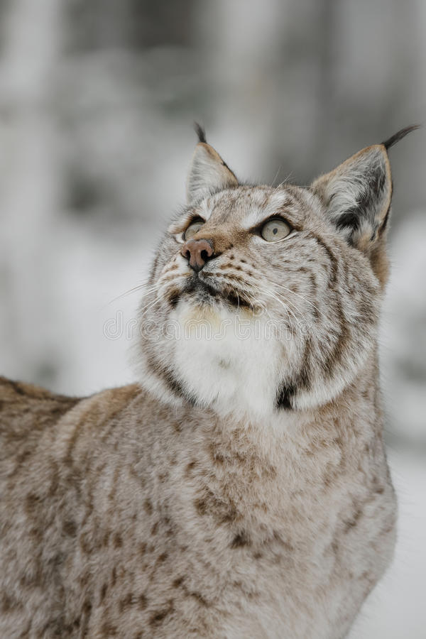 Lynx. In Scandinavia, winter wilderness stock images