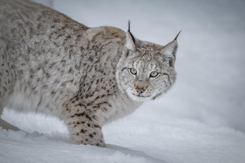 Lynx. In Scandinavia, winter wilderness royalty free stock images