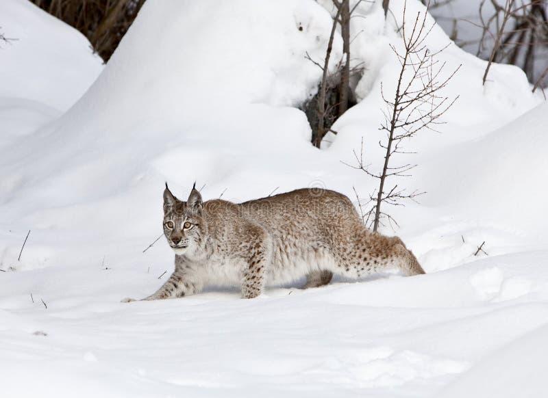 Lynx sibérien dans la position classique images stock