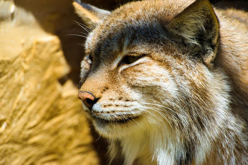 Lynx sits in a hollow tree stock image