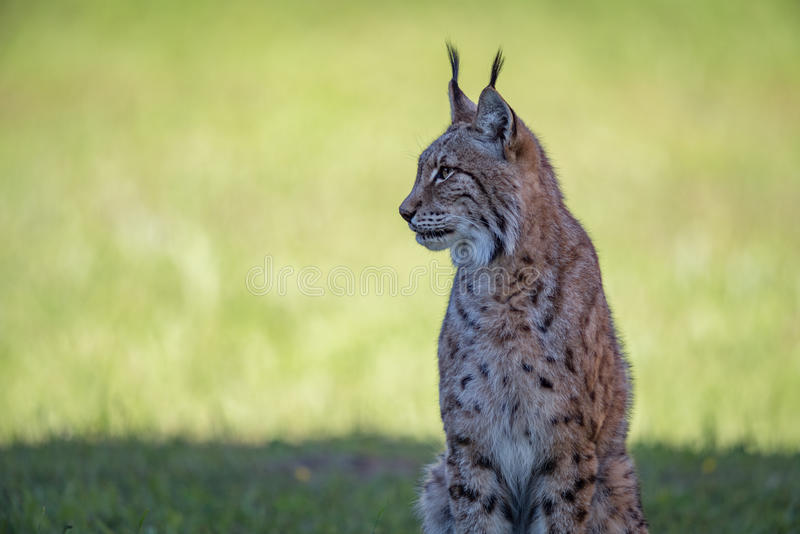 Lynx sits on shady grass looking left stock images