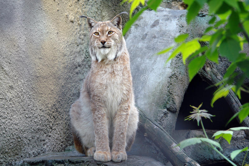 Lynx sitting. In an enclosure at the Moscow Zoo royalty free stock images