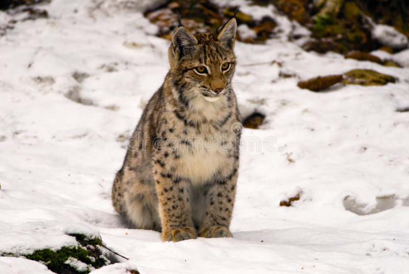Download Lynx Sitting In Snow Royalty Free Stock Image - Image: 4159216