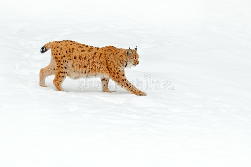 Lynx in snow forest. Eurasian Lynx in winter. Wildlife scene from Czech nature. Snowy cat in nature habitat. Mother with young, wi. Ld cat family. Lynx in nature stock photos