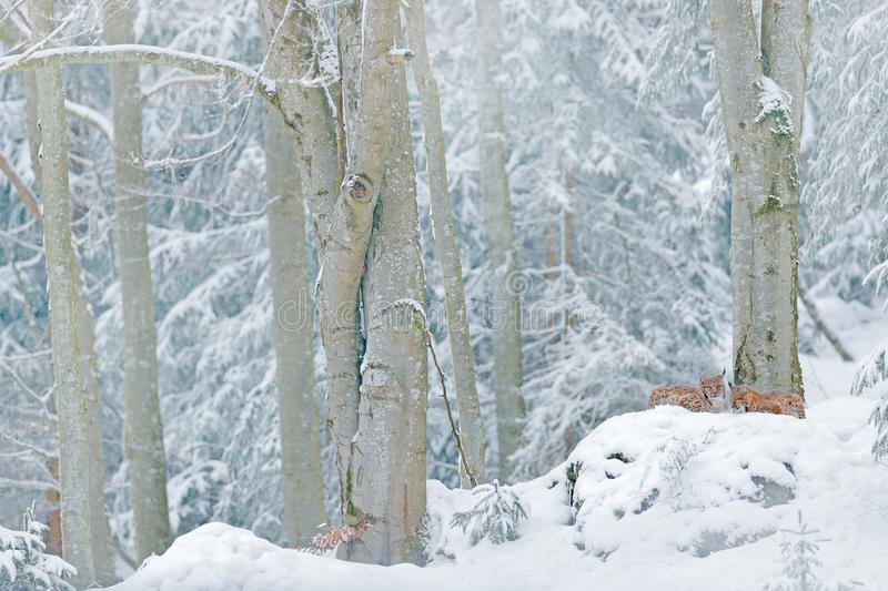 Lynx in snow forest. Eurasian Lynx in winter. Wildlife scene from Czech nature. Snowy cat in nature habitat. Mother with young, wi. Ld cat family. Lynx in nature stock photography