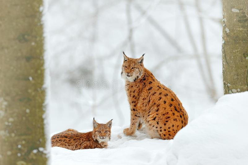 Lynx in snow forest. Eurasian Lynx in winter. Wildlife scene from Czech nature. Snowy cat in nature habitat. Mother with young, wi. Ld cat family. Lynx in nature stock photo