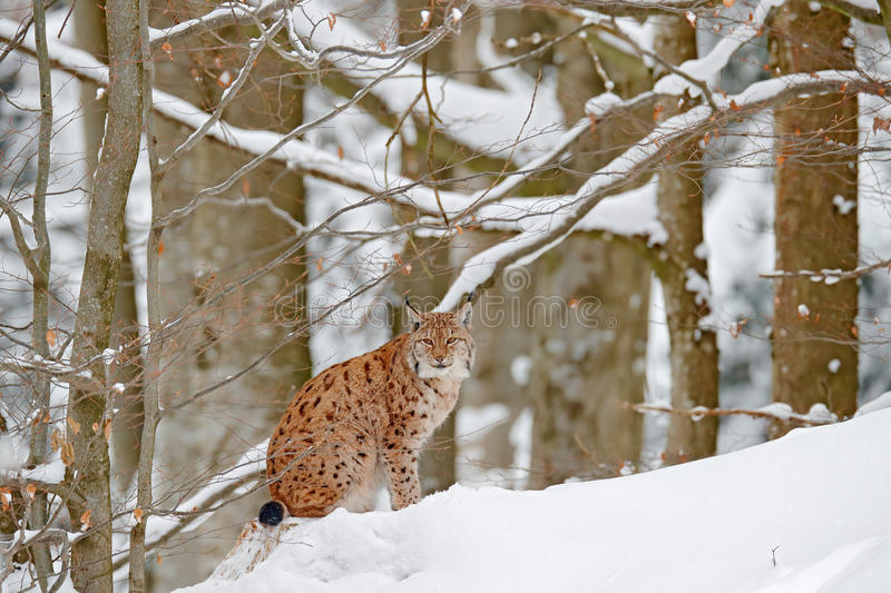 Lynx in snow forest. Portrait of Eurasian Lynx in winter. Wildlife scene from Czech nature. Snowy cat in nature habitat. Detail cl. Lynx in snow forest. Portrait stock image