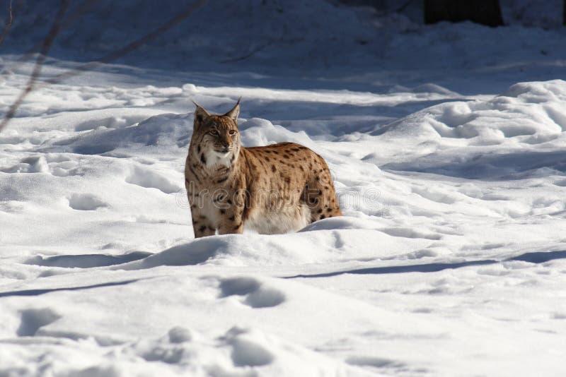 Lynx snow I royalty free stock photography
