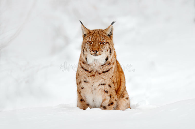 Lynx in snow. Portrait of Eurasian Lynx in winter. Wildlife scene from Czech nature. Snowy lynx in nature habitat. Detail close-up. Portrait royalty free stock image