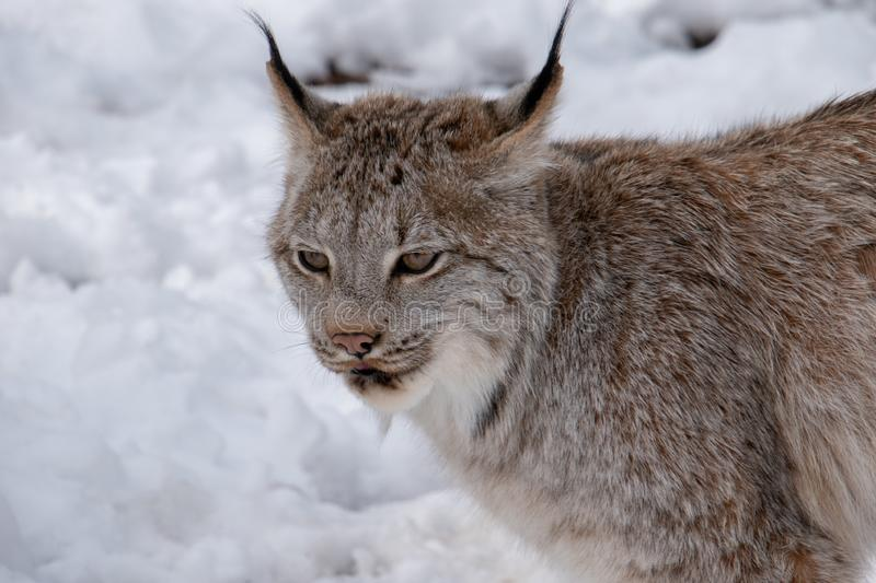A lynx in the snow during Winter royalty free stock photos