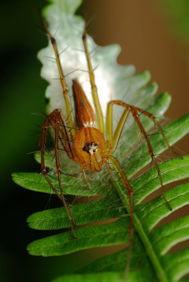 Download Lynx Spider stock photo. Image of eggs, lynx, green, wildlife - 12912340