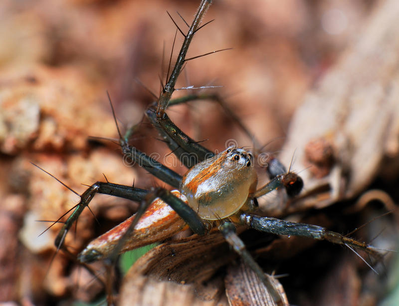 Download Lynx Spider stock photo. Image of garden, eggs, detect - 13300758