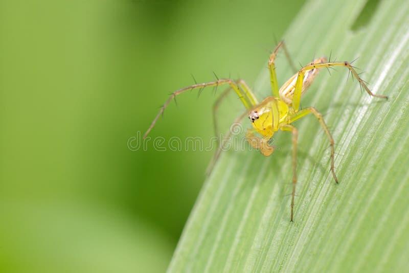 Download Lynx spider stock photo. Image of close, spider, arachnid - 15659786