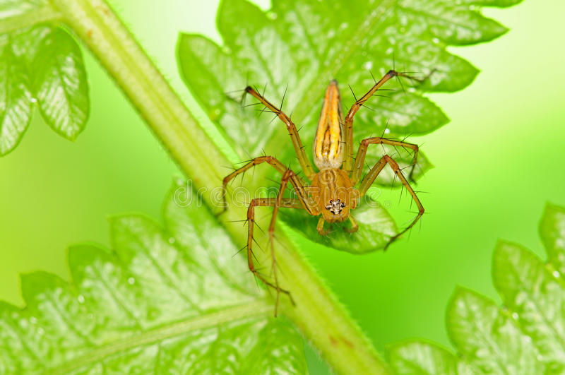 Lynx Spider Royalty Free Stock Photography