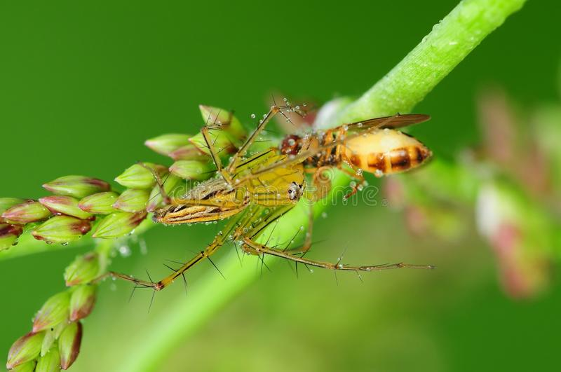 Download Lynx Spider Eating A Bee In The Park Stock Image - Image: 10386291