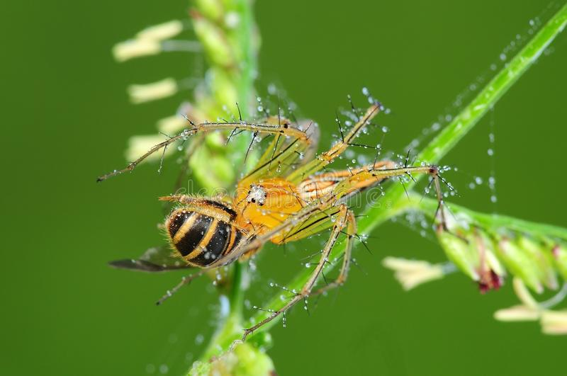 Lynx Spider Eating A Bee In The Park Stock Photo
