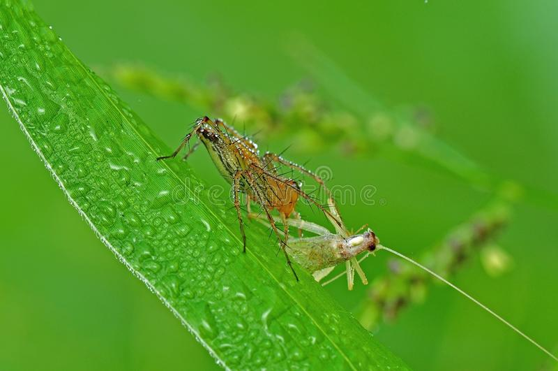 Download Lynx Spider Eating A Grasshopper Stock Image - Image of predator, spider: 10386095