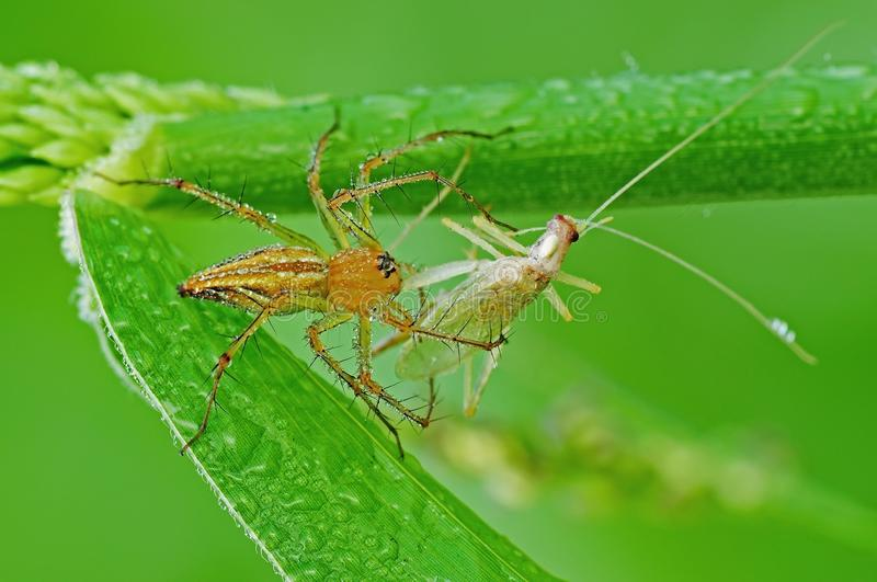 Lynx Spider Eating A Grasshoppers Stock Image
