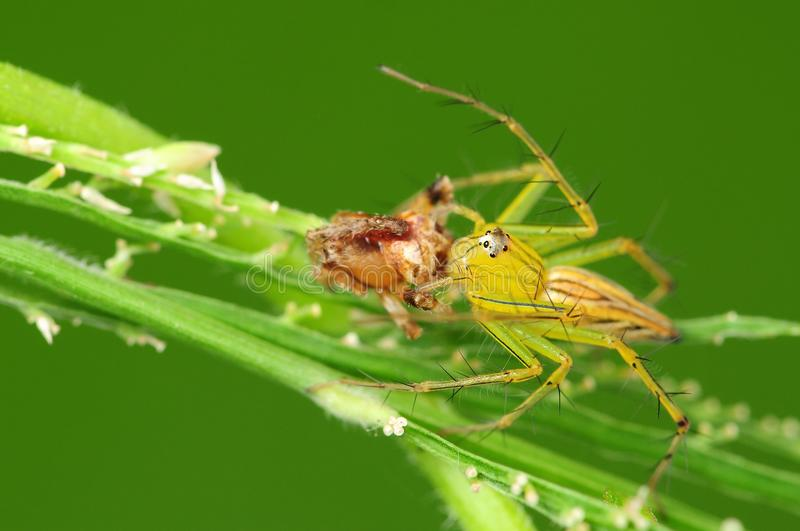 Download Lynx Spider Eating An Insect Stock Image - Image: 10386461