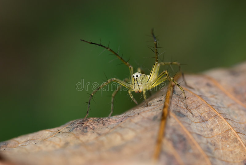 Download Lynx Spider macro stock photo. Image of spiny, close, wild - 4529972