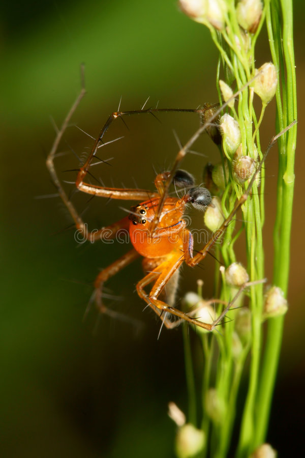Download Lynx Spider Macro Royalty Free Stock Images - Image: 8034379