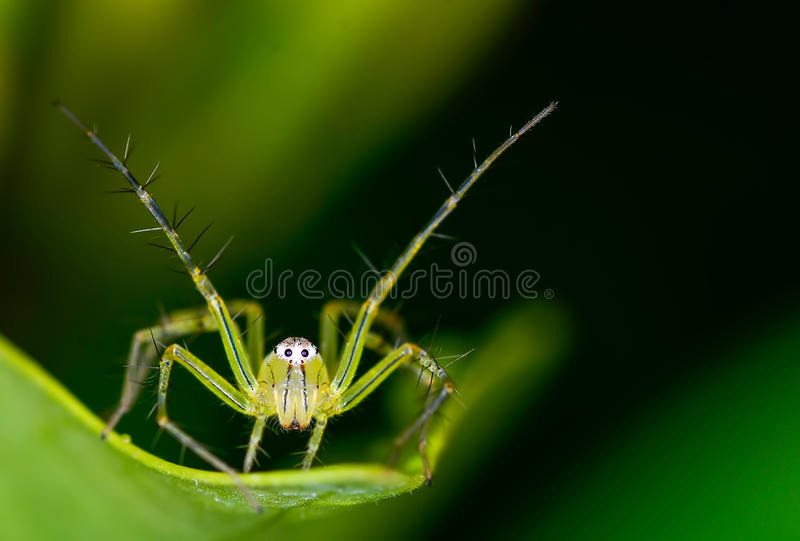 Download Lynx spider stock photo. Image of stack, leaf, stacked - 31708562