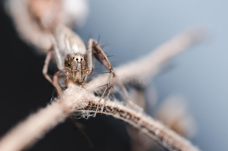 Download Lynx spider stock photo. Image of macro, lynx, spider - 30147732