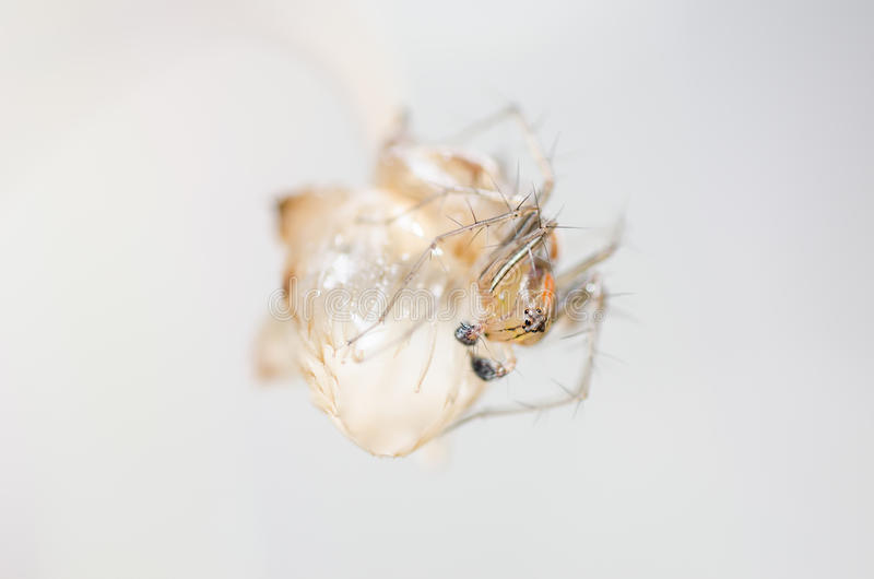 Download Lynx spider stock image. Image of lynx, nature, beauty - 30459647
