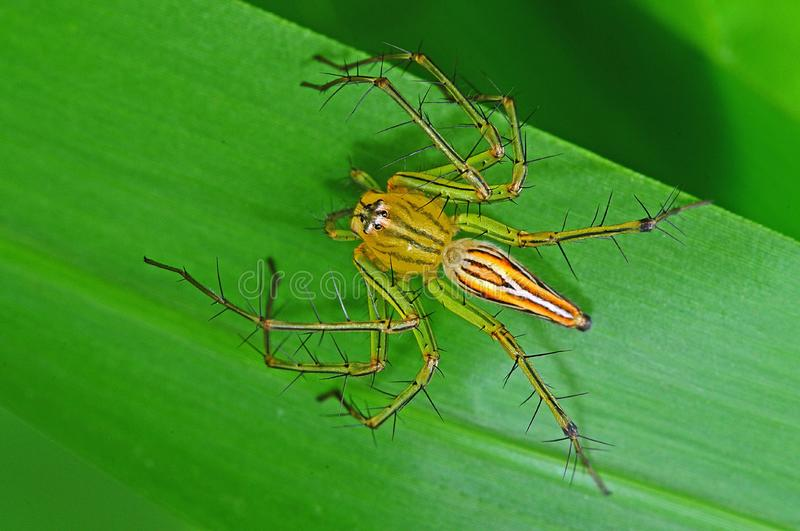 Lynx spider in the park