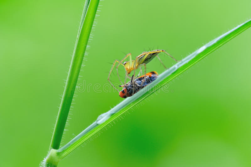 Lynx Spider With Pery Royalty Free Stock Photo